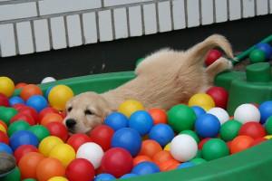 golden-retriever-puppy-2706673_1920.jpg